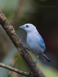 Blue-gray Tanager PSLR-3595 NiS.jpg