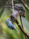 Blue-gray Tanager  KPSLR-3585 NiS.jpg