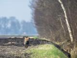 Red Fox PSLR-0498.jpg
