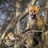 Red Fox KPSLR-0510.jpg