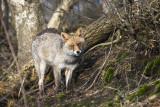 Red Fox PSLR-0518.jpg