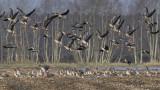 Ganzen - Geese