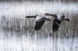 Anser anser - Greylag Goose - Grauwe gans