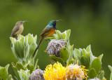 South Africa Sunbirds
