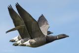 Brent goose PSLR-3551 NiS