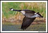 Flying Ducks, Geese & Shorebirds