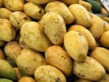 Mango the golden fruit.