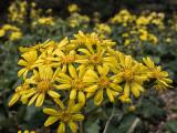 yellow beauty found at Tojinbo