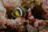 Juvenile Clownfish