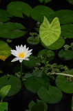 Water Lily on Greens