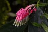 Pink Finger Blossoms