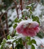 Snowed Rose