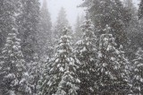Evergreens in Snowstorm