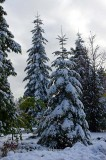 Tall Covered Firs