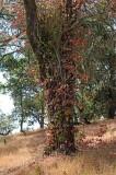 Poison Oak - Red & Green