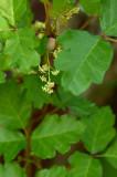 Poison Oak Flowers