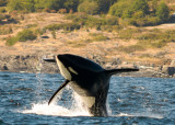 Whale Watching near Victoria, Vancouver Island