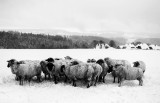 Flock of Sheep, protecting themselves from the cold