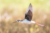 Black-necked Stilt Flight
