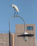 Balancing Egret