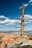 TREE ON RIM OF AMPITHEATER IN BRYCE CANYON