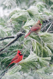 CARDINAL - MALE AND FEMALE