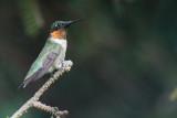 RUBY THROATED HUMMINGBIRD - MALE