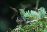 RUBY THROATED HUMMINGBIRD - MALE AND FEMALE