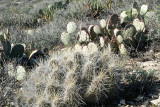 PRICKLY PEAR AND BARREL CACTUS