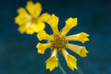 MOUSE-EAR_COREOPSIS