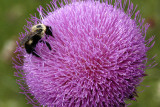 MUSK_THISTLE