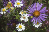 NEW_ENGLAND_ASTER AND OXEYE DAISY