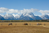 HORSES GRAZING IN FRONT OF TETONS