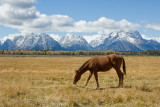 HORSE GRAZING IN FRONT OF TETONS