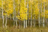 ASPENS TURNING IN THE FALL