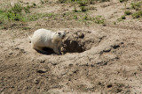 WHITE PRAIRIE DOG, FOUND ONLY IN PRAIRIE HOMESTEAD