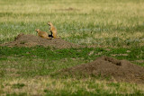 PRAIRIE DOGS IN BADLANDS N.P.
