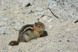 CHIPMUNK AT OLMSTED POINT