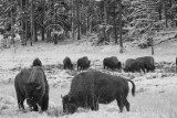 BISON, YELLOWSTONE N.P.