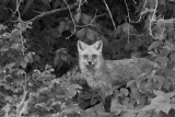 RED FOX, KENTUCKY
