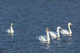 TUNDRA SWAN WITH MUTE SWANS