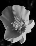 California Poppy and Katydid