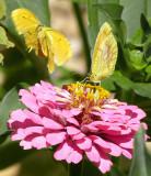Two Yellow Butterflies