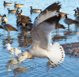 Gulls and Geese