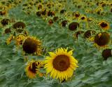 Late Bloomer Sunflower