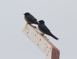 Angola Swallow