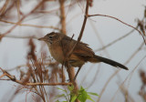 Moustached Grass Warbler