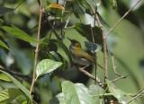 Yellow-browed Camaroptera
