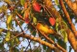 Sulphur-breasted Bush-shrike