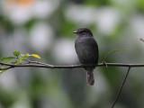 Sooty Flycatcher